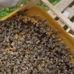 abeille jardin des cairns